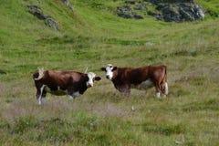 Las vacas comen la hierba en la montaña Foto de archivo libre de regalías