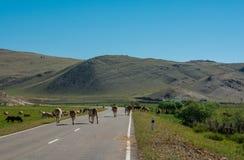 Las vacas cruzan el camino Foto de archivo