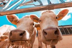 Las vacas curiosas divertidas en los ganados lecheros cultivan imagenes de archivo