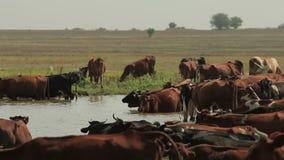 Las vacas descansan en la charca