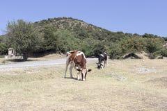 Las vacas en el camino en un día soleado Imagen de archivo libre de regalías