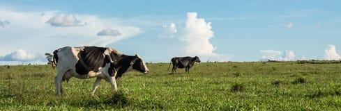 Las vacas en el campo imagenes de archivo
