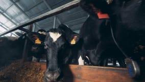 Las vacas en el establo se están colocando cerca de un forraje almacen de video