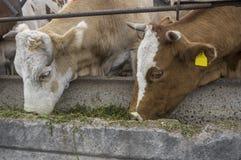 Las vacas en granja comen la hierba Imagen de archivo libre de regalías