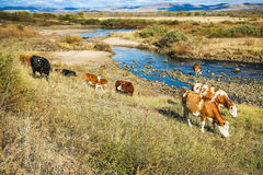 Las vacas en la hierba amarilla debajo del cielo azul por el río apuntalan Imágenes de archivo libres de regalías