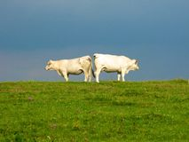 Las vacas en mejilla del campo a la mejilla dan vuelta a la otra mejilla Imagenes de archivo