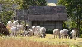 Las vacas en Tailandia Imagenes de archivo