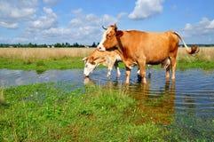 Las vacas en un verano pastan después de una lluvia Foto de archivo