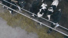 Las vacas están comiendo el forraje en un byre en una visión superior almacen de metraje de vídeo