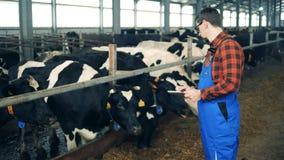 Las vacas están consiguiendo comprobadas por un experto masculino almacen de video