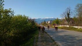 Las vacas están en el camino pavimentado Fotos de archivo libres de regalías
