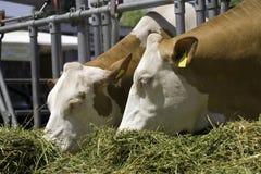 Las vacas están introduciendo Imágenes de archivo libres de regalías