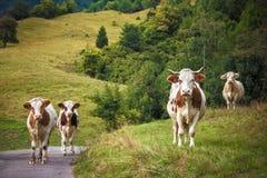 Las vacas le están mirando fotografía de archivo libre de regalías