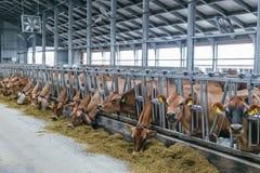 Las vacas lecheras del jersey en un ganado libre atascan Fotografía de archivo libre de regalías