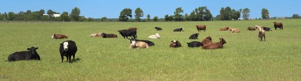 Las vacas lecheras pastan el panorama de la bandera del campo panorámico Fotos de archivo libres de regalías