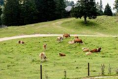 Las vacas libres del ganado de la gama en la alta montaña ponen verde el pasto Imagenes de archivo