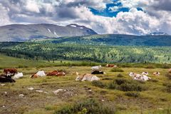 Las vacas libres están descansando sobre un pasto de la montaña en día de verano Las vacas pastan libremente en las montañas, men imagen de archivo libre de regalías