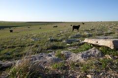 Las vacas negras dispersaron sobre una gama abierta extensa Imagen de archivo