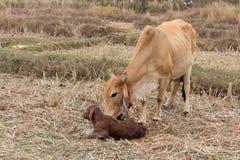 Las vacas paren Foto de archivo