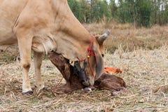 Las vacas paren Imagen de archivo libre de regalías