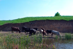 Las vacas pastan Fotografía de archivo