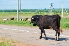 Las vacas pastan en el prado a lo largo del camino Fotos de archivo libres de regalías