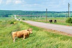 Las vacas pastan en el prado a lo largo del camino Fotos de archivo