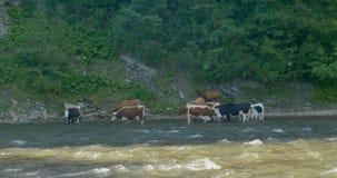 Las vacas pastan en el río de la montaña metrajes