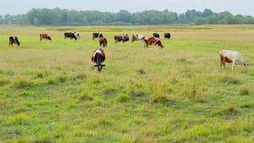 Las vacas pastan en la granja metrajes