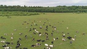 Las vacas pastan en pasto almacen de metraje de vídeo