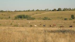 Las vacas pastan en pasto Concepto del negocio de la lechería Ganado en el prado El concepto de cría de ganado ecológica adentro almacen de metraje de vídeo