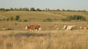 Las vacas pastan en pasto Concepto del negocio de la lechería Ganado en el prado El concepto de cría de ganado ecológica adentro metrajes