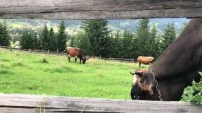 Las vacas pastan en un campo verde en las monta?as de los C?rpatos almacen de metraje de vídeo