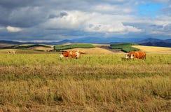 Las vacas pastan en un prado contra imágenes de archivo libres de regalías