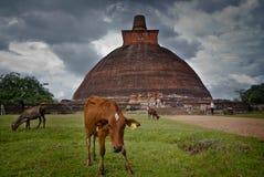 Las vacas pastan la hierba cerca de la ciudad antigua de Anuradhapura fotos de archivo