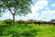 Las vacas pastan libremente en el sol del verano Imágenes de archivo libres de regalías