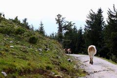Las vacas que caminan en el camino de las montañas Fotografía de archivo
