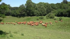 Las vacas rojas pastan en pasto verde enorme almacen de video