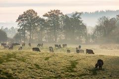 Las vacas rojas y negras de Holstein están pastando en una mañana fría del otoño Fotos de archivo