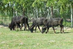 Las vacas sacrificatorias están comiendo la hierba en la granja para el festival de los musulmanes de sacrificios foto de archivo libre de regalías