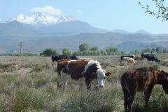 Las vacas sacrificatorias están comiendo la hierba en la granja para el festival de los musulmanes de sacrificios imagenes de archivo