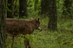 Las vacas salvajes curiosas en un bosque miman a vacas con el becerro Imagenes de archivo
