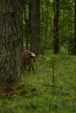 Las vacas salvajes curiosas en un bosque miman a vacas con el becerro Fotos de archivo libres de regalías