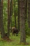 Las vacas salvajes curiosas en un bosque miman a vacas con el becerro Imagen de archivo libre de regalías