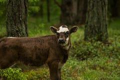 Las vacas salvajes curiosas en un bosque miman a vacas con el becerro Fotos de archivo