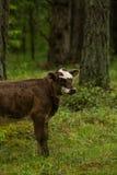 Las vacas salvajes curiosas en un bosque miman a vacas con el becerro Fotografía de archivo