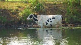 Las vacas se colocan en el agua en un día caliente almacen de video