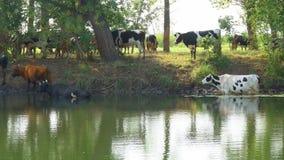 Las vacas se colocan en el agua en un día caliente metrajes