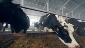 Las vacas se están colocando cerca de un forraje y de una consumición almacen de video