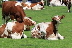 Las vacas son felices juntas Imagen de archivo libre de regalías